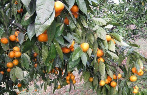 В октябре в Абхазии отмечают праздник сбора урожая